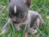 CKC Chihuahua Blue male Puppy, Weight is 6 ounces right