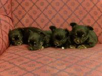 CKC Chihuahua Teacup Pups, small babies! 3 females and