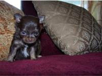 I have a little female chihuahua ckc for sell she is