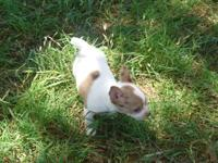 CKC White with Merle Markings Chihuahua Male puppy.