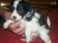 Beautiful little Chinese Crested powder puff females 5