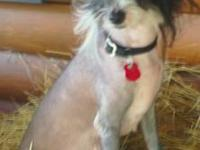 Chinese Crested pups males and females hairless and