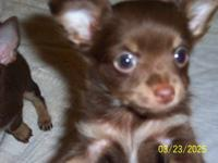 CKC registered chocolate (with tan points) chihuahua