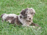Chocolate merle Aussiedoodles. They are 50% Standard