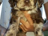 Chance is a 10 weeks old Chocolate merle cocker he very