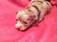 Toy Chocolate merle chihuahua 3-4lb grown Female 12