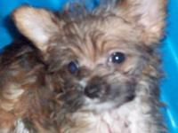 I have chihuahua/ yorkie mixed puppies for sale.. i