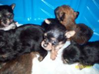 i have chihuahua/ yorkie mixed puppies for sale.. the