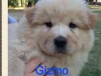 Adorable Chow~Chow puppies ready for new homes, UTD on