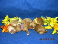 ADORABLE CKC REGISTERED COCKER SPANIEL PUPPIES, MALES
