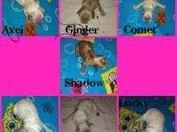 Complete blooded CKC registered Cocker Spaniel puppies