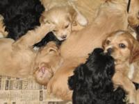 5 male CKC Cocker Spaniel puppies, born 10-31, tails