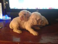 Cocker spaniel puppies born July 19, 2012. There are 4