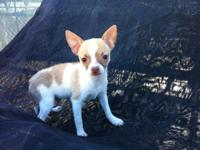 Tan and white, Chihuahua male Puppy will certainly be