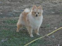 I have a CKC Male Pomeranian that is Cream in color. He