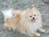I have a CKC Guy Pomeranian that is Cream in shade. He
