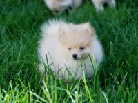 CKC REGISTERED DARK CREAM MALE POM. CUTE, CUDDLY, AND