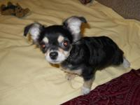 I have a ckc long haired male chihuahua puppy looking