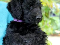 Beautiful Curly Coated black female labradoodle! Will