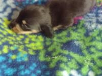 CKC Dachshund black and tan male puppy $450. Will be