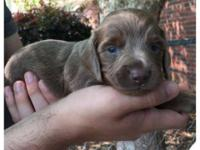 CKC Standard Dachshund Puppies, Dad: Blue/tan