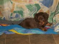 CKC Dachshund Male young puppy. Chocolate and Tan, long