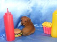 i have a litter of small dachshunds i have 2 girls and