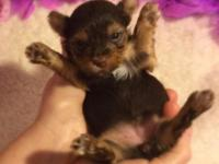 CKC Dark Chocolate Color Yorkie Male Available! Dam: