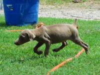 Ckc Doberman Pinscher puppies. Males and females I have