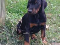 Male black and rust CKC reg. Doberman Pinscher puppy.