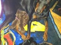 I have a litter of 6 Doberman puppies, we have 3 red (2