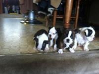 1/4 English Bulldog 3/4 Boston Terrier young puppies