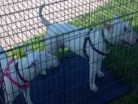 I have 3 baby English Bull Terriers available for