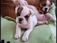 Good morning guys, we have 3 beautiful English Bulldogs
