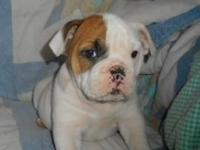 Female English Bulldog Pup, seven weeks old and up to