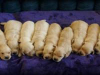 We have an amazing litter of 9 puppies that were born