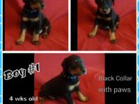 We have a litter of CKC doberman puppies born January