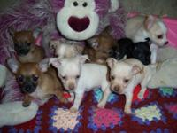We have 8 additional adorable and frisky chihuahua
