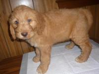 GORGEOUS NEW LITTER OF GOLDENDOODLE PUPPIES ! This