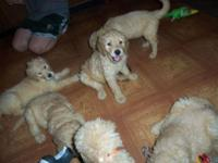 I have a beautiful litter of F1 Goldendoodles. They are
