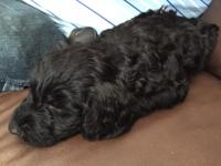 Beautiful F1 Goldendoodles males and females born