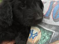 Beautiful Black male Golden Doodle. Born to a litter of