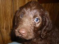 ONLY ONE CHOCOLATE AND THREE BLACK PUPPIES LEFT ! NEW
