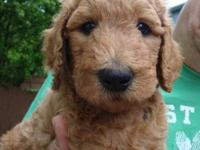 Our litter of beautiful F1b Goldendoodle puppies are
