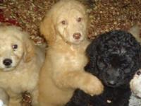 We have beautiful F1b pups who will be ready for xmas.