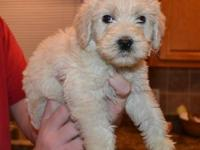 These are CKC fully registered F1B labradoodle puppies.