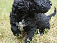 We have three CKC-Registered F1b Labradoodle females
