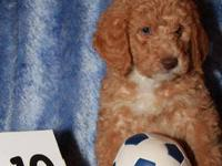 Due anytime after May 9, 2013. We bred our Labradoodle