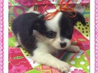 I have an adult female CKC Shih-Tzu for sale. She was