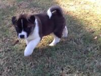 Beautiful Female Akita pup. Large bone and bear head.